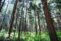 伊佐市の木
