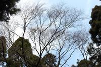 エドヒガン桜の開花状況について(4月12日現在)