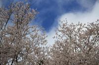 エドヒガン桜の開花状況について(3月22日現在)