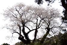 江戸彼岸桜(エドヒガン桜)(伊佐市大口小木原)