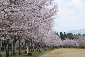 【平成31年4月3日現在】桜の開花状況(随時更新)