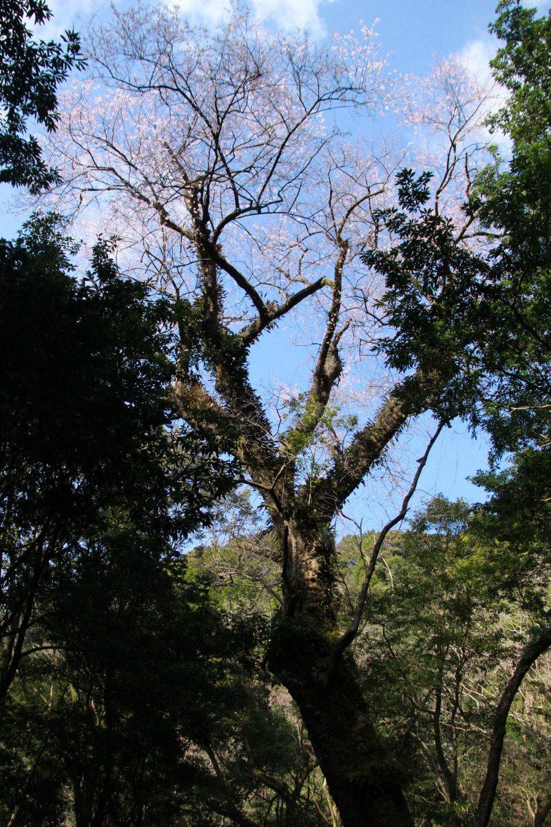 エドヒガン桜の開花状況について(3月18日更新)