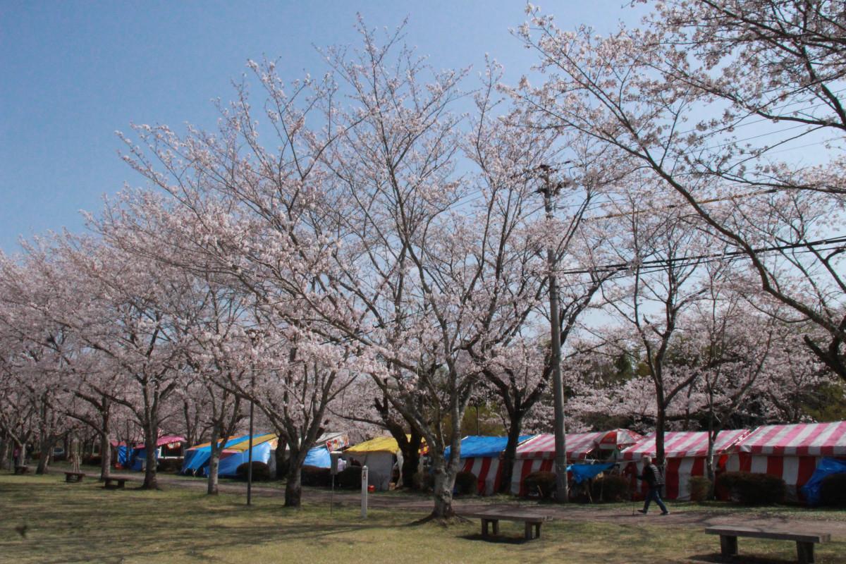 忠元公園の桜開花状況(4月2日更新)