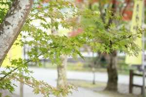 曽木の滝 もみじ紅葉状況(随時更新)