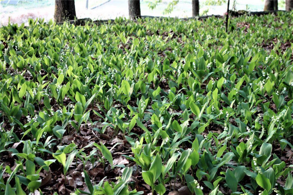 【4/19更新】富ヶ丘のすずらん 開花情報@見ごろを迎えています!